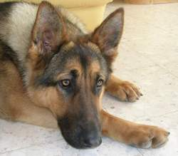 Sam, chien Berger allemand