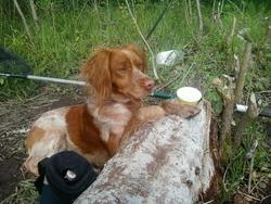 Sam, chien Épagneul breton