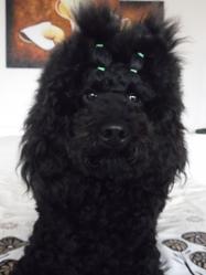 Sam, chien Caniche