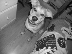 Sam, chien American Staffordshire Terrier
