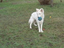 Sam, chien Berger blanc suisse