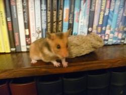 Samantha, rongeur Hamster