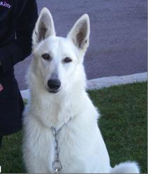 Samarkand, chien Berger blanc suisse