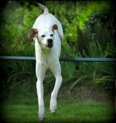 Samba, chien Pointer anglais