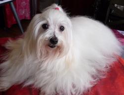 Samba, chien Bichon maltais