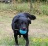 Samba, chien Labrador Retriever