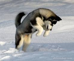 Samba, chien Husky sibérien