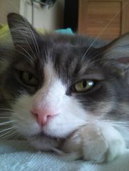 Sambo, chat Européen
