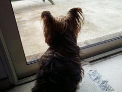 Sami, chien Yorkshire Terrier
