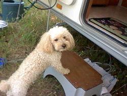 Sami, chien Caniche