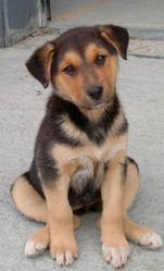 Sami, chien Berger allemand