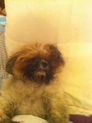 Sammy, chien Shih Tzu