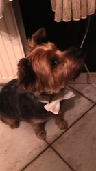 Sammy, chien Yorkshire Terrier