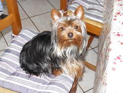 Sammy, chien Yorkshire Terrier
