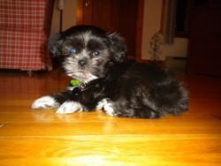Sammy , chien Shih Tzu