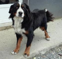Samoidor, chien Bouvier bernois