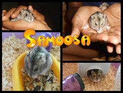 Samoosa, rongeur Hamster