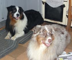 Samson, chien Berger australien
