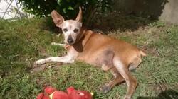 Samy, chien Pinscher