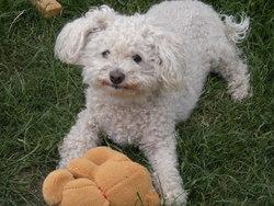 Samy, chien Bichon à poil frisé
