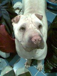 Samy, chien Shar Pei