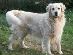Samy, chien Golden Retriever