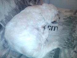 Samy, chien Coton de Tuléar