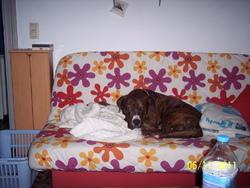 Samy, chien American Staffordshire Terrier