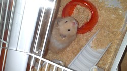 Samy, rongeur Hamster