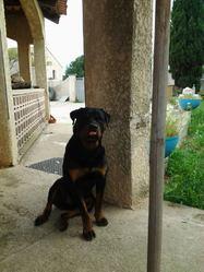 Samy, chien Rottweiler