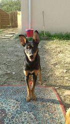 Samy, chien Beauceron