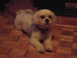 Samy, chien Shih Tzu
