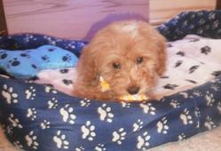 Samy, chien Caniche