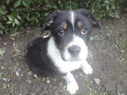 Samy, chien Border Collie