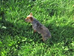 Samy, chien Yorkshire Terrier