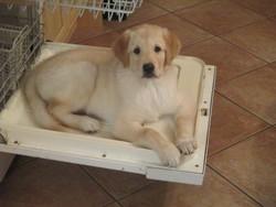 Samy, chien Labrador Retriever
