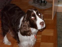 Sana, chien Springer anglais