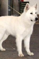 Sanah, chien Berger blanc suisse