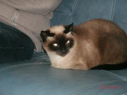 Sandi, chat Siamois