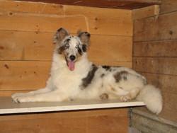 Sandy, chien Berger des Shetland