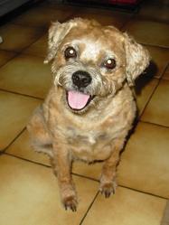 Sandy, chien Border Terrier