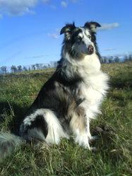 Sandy, chien Colley à poil long