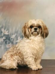 Sandy, chien Shih Tzu