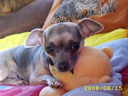 Sandye, chien Chihuahua