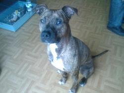 Sanga, chien American Staffordshire Terrier