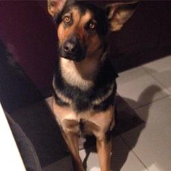 Sangha, chien Berger allemand
