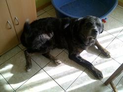Sangka, chien Cane Corso
