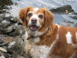Sania, chien Épagneul breton