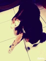 Sanjay, chien Bouvier bernois