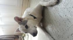 Sanji, chien